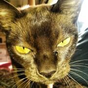 Katze, Burmese, Tier