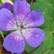 Blüte, lila