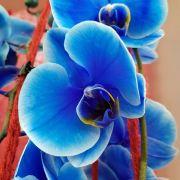 Orchidee, blau
