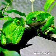 Frosch, Frösche, grün