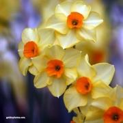 Narzisse, gelb