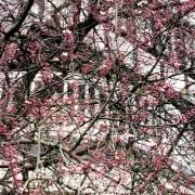 Köln-Rodenkirchen, Kirschblüte
