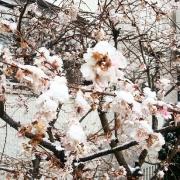 Kirschbluete, Frühling, Blüte
