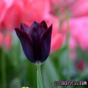 Tulpe, schwarz, Blüte
