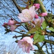 Kirschblüte, Frühling, Blüte