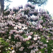 Rhododendron, weiß