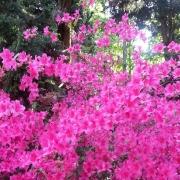 Blüten rosa