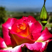 Rose, rot