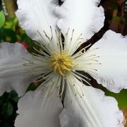 Blüte, weiß