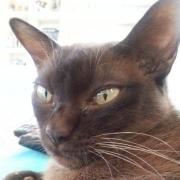 Katze, Burmese