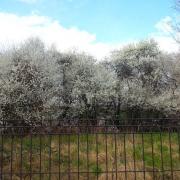 Kirschblüte, Baum, Wald, Blüte, Frühling
