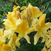 Rhododendron, gelb