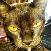 Haustier, Katze, Burmese