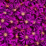 Blüten, lila