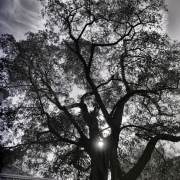 Baum im Gegenlicht, S/W, B/W
