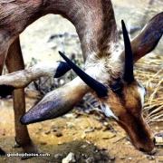 Antilope, Struktur