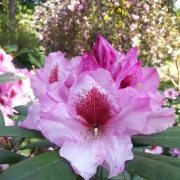 Rhododendron, rosa