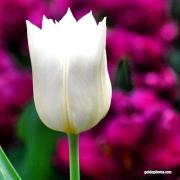 Tulpe, weiß