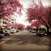 Kirschblüte, Frühling, Blüte, Nibelungenweg, Rodenkirchen, Köln