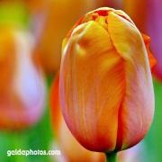 Tulpe, orange, Blüte
