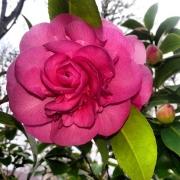 Kamelie, Blüte, pink,