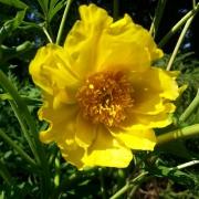 Blüte, gelb