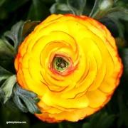 Ranunkel, gelb, Blüte