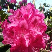 Rhododendron, rot