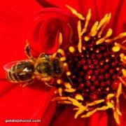 Biene und Blüte, rot