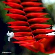 Blüte, rot, weiß