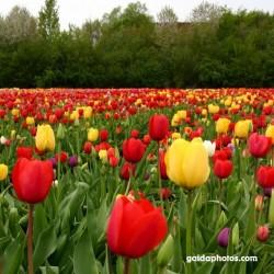 Feld, Natur, Tulpe
